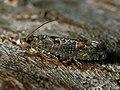 Epinotia maculana - Листовёртка разнообразная осиновая (27388257308).jpg