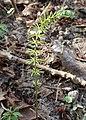 Equisetum pratense kz11.jpg