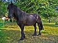 Equus ferus caballus 001.JPG