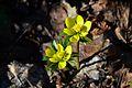 Eranthis hyemalis - Family Ranunculaceae.jpg