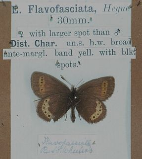 Yellow-banded ringlet species of insect