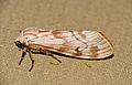Erebid Moth (Teracotona rhodophaea) (16927179875).jpg