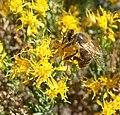 Ericameria laricifolia 8.jpg