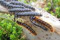 Eriogaster arbusculae caterpillar.JPG