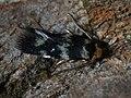 Etainia sericopeza - Norway maple seedminer (42278132991).jpg