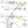 Ethylene signaling pathway.jpg