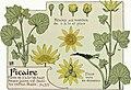 Etude de la plante - p.319 fig.377 - Ficaire.jpg
