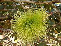 Eucalyptus lehmannii (flower).JPG