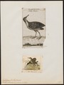 Eulabeornis striatus - 1700-1880 - Print - Iconographia Zoologica - Special Collections University of Amsterdam - UBA01 IZ17500143.tif