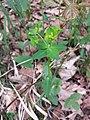 Euphorbia angulata sl26.jpg