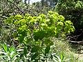 Euphorbia nicaeensis (8744259647).jpg