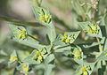 Euphorbia paralias - Sea spurge - Kum sütleğeni 03.jpg
