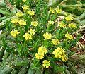 Euphorbia pugniformis 01 ies.jpg