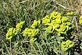 Euphorbia serrata (15461934976).jpg