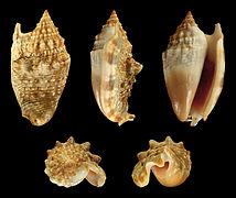 Euprotomus aurisdianae 01