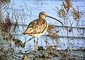 Eurasian Curlew ssp orientalis (15275971452).jpg