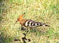 Eurasian Hoopoe at the Bassein Fort.jpg