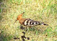 Eurasian Hoopoe at the Bassein Fort