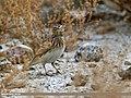 Eurasian Skylark (Alauda arvensis) (31183558476).jpg