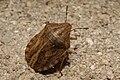 Eurygaster testudinaria - 20070807.jpg