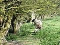 Ewe and lamb - geograph.org.uk - 402699.jpg