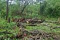 Exploitation forestière à Aklankpa.jpg