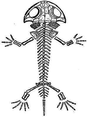 Branchiosaurus - Skeletal diagram