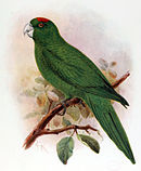 A green parrot with a red forehead