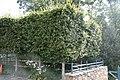 Fagus grandifolia 15zz.jpg