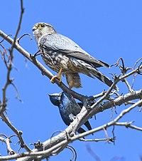 Falco columbarius Tachycineta bicolor Sam Smith Park.jpg
