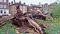 Fallen Black Poplar - geograph.org.uk - 771742.jpg
