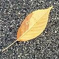 Fallen leaf - Flickr - Stiller Beobachter (1).jpg