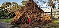 Fallen tree (roots) after Cyclone Marcus.jpg