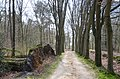 Fallen trees at a beechlane in Leusveld Park - panoramio.jpg