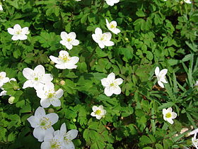 False Rue Anemone.jpg