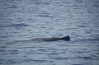 Blainville's beaked whale - Image: Female Blainville's Beaked Whale
