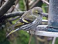 Female European Siskin. Spinus spinus (32476618386).jpg
