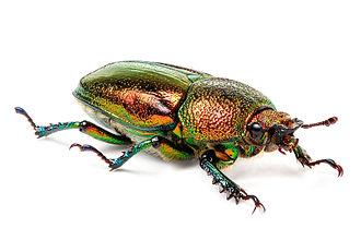 Lamprima aurata - Adult female