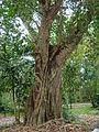 FicusReligiosa02 Asit.JPG