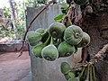 Ficus auriculata 114.jpg