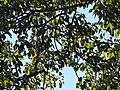 Ficus geniculate DSCN1382.jpg