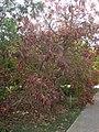 Ficus ingens 4c.JPG