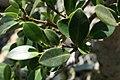 Ficus nitida 2zz.jpg