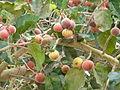 Ficus sycomorus 0003.jpg