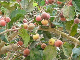 <i>Ficus sycomorus</i> species of plant