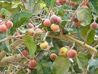 Ficus sycomorus - Leaves and syconia of Ficus sycomorus
