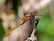 Fiery Skimmer (female) 3067.jpg