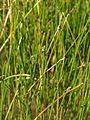 Fig. 02 Eleocharis pauciflora.jpg