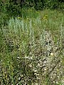 Filago arvensis sl73.jpg