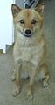 Finnish Spitz female Lisa.jpg